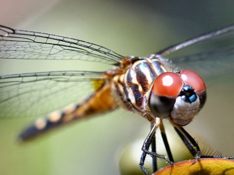A dragonfly has 6 legs but is unable to walk! The legs are only used for grabbing and holding onto insects, a dragonfly's prey, while flying. How's that for bizarre? (DP) http://www.cssplay.co.uk/menu/slides/dragonfly.jpg
